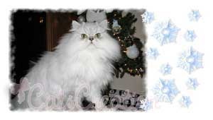 Doll Faced Persian Cat by Christmas tree