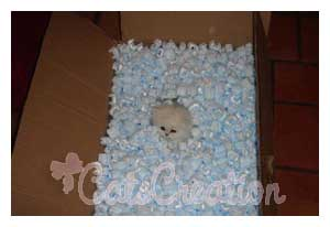 Doll Faced Persian Kitten in packing material