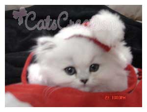 Doll Face persian Kitten with hat for Christmas