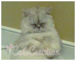 Doll Faced Shaded Silver Persian