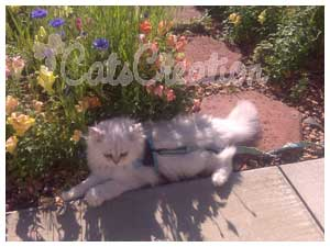 Persian Kittens for Sale, Persian Cat Breeds, Doll Faced Silvers
