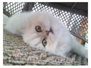 Persian Cat Doll Faced Chinchilla Silver lying on side