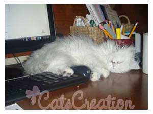 Persian Kitten on keyboard