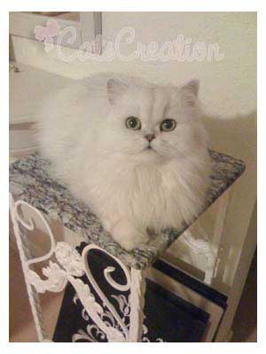 Persian Cat on marble top table