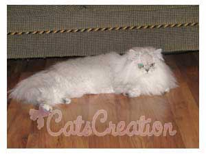 Persian Cat stretching on wood floor