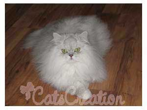 Persian Cat lying on wood fllor