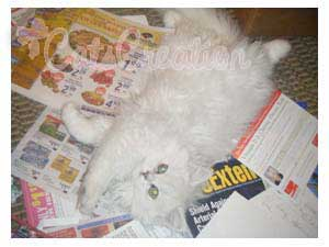 Persian Kitten playing on newspaper