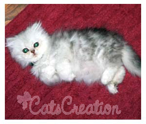 Persian Kittens for Sale, Persian Cat Breeds, Doll Faced
