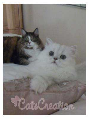 Persian Cat and friend