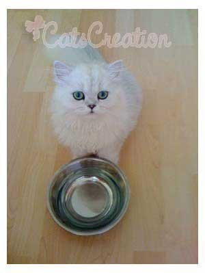Persian Cat with empty bowl