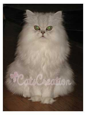 Persian Cat sitting down
