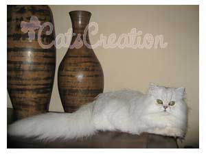 Persian Cat lying on table