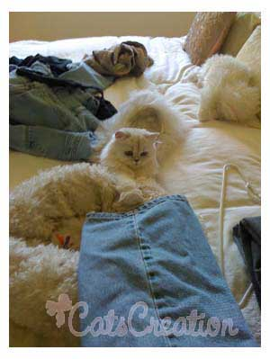 Persian Cat with laundry