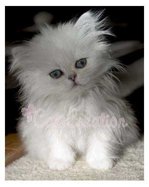 Bay Doll Faced Chinchilla Persian Kitten with head tilting