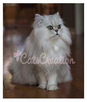 Beautiful Persian Cat posing for picture