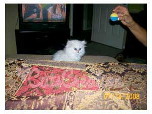 Doll Faced Persian kitten by bed looking at toy